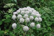 Фото 29 Все о болиголове: описание растения и особенности его лекарственного применения