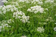 Фото 9 Все о болиголове: описание растения и особенности его лекарственного применения