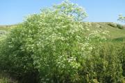 Фото 20 Все о болиголове: описание растения и особенности его лекарственного применения