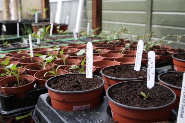 Гипсофила многолетняя: Все о растении Посадка, уход, зимовка