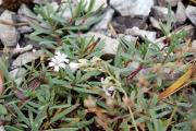 Фото 28 Гипсофила многолетняя: особенности рассады, посадки и ухода в зимний период