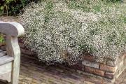 Фото 32 Гипсофила многолетняя: особенности рассады, посадки и ухода в зимний период