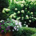 Гортензия лаймлайт: посадка и рекомендации по уходу от опытных садоводов фото