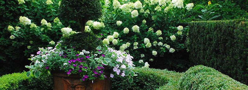 Гортензия лаймлайт: посадка и рекомендации по уходу от опытных садоводов