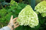 Фото 5 Гортензия лаймлайт: посадка и рекомендации по уходу от опытных садоводов