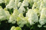 Фото 6 Гортензия лаймлайт: посадка и рекомендации по уходу от опытных садоводов