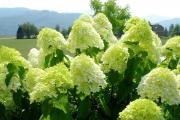 Фото 7 Гортензия лаймлайт: посадка и рекомендации по уходу от опытных садоводов