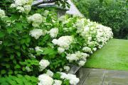 Фото 9 Гортензия лаймлайт: посадка и рекомендации по уходу от опытных садоводов