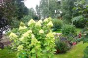 Фото 10 Гортензия лаймлайт: посадка и рекомендации по уходу от опытных садоводов