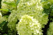 Фото 11 Гортензия лаймлайт: посадка и рекомендации по уходу от опытных садоводов