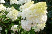 Фото 1 Гортензия лаймлайт: посадка и рекомендации по уходу от опытных садоводов