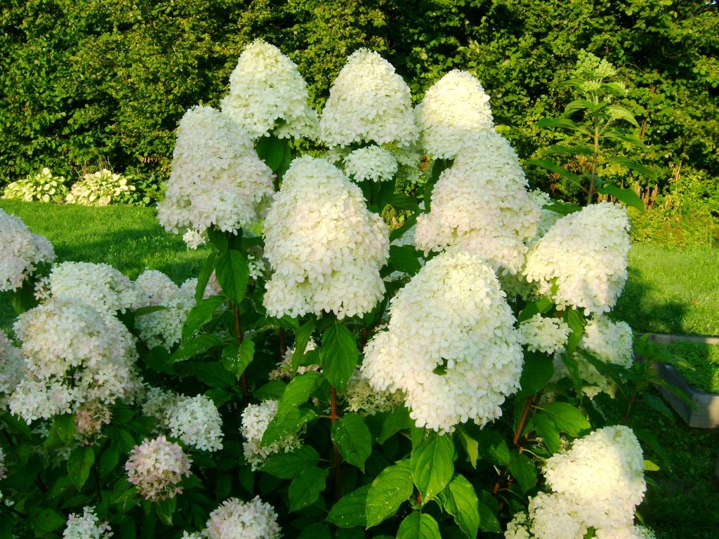 Гортензия лаймлайт Посадка, выращивание, уход и обрезка