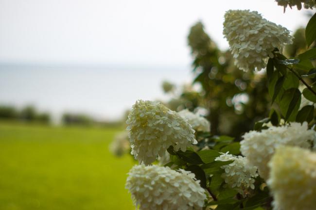 Гортензия - одно из любимейших растений всех садоводов