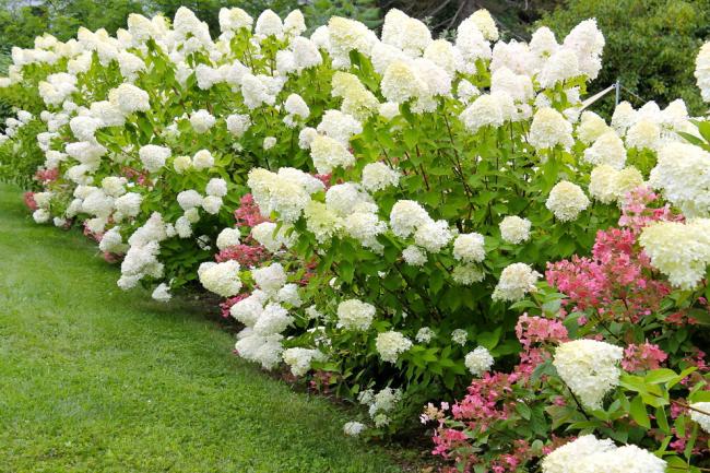 Гортензия Лаймлайт - превосходный выбор для сада