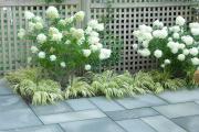 Фото 14 Гортензия лаймлайт: посадка и рекомендации по уходу от опытных садоводов