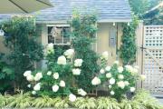 Фото 15 Гортензия лаймлайт: посадка и рекомендации по уходу от опытных садоводов