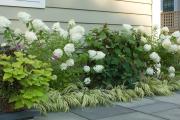 Фото 16 Гортензия лаймлайт: посадка и рекомендации по уходу от опытных садоводов