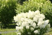 Фото 17 Гортензия лаймлайт: посадка и рекомендации по уходу от опытных садоводов