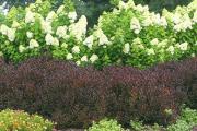Фото 20 Гортензия лаймлайт: посадка и рекомендации по уходу от опытных садоводов