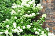 Фото 21 Гортензия лаймлайт: посадка и рекомендации по уходу от опытных садоводов
