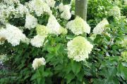 Фото 22 Гортензия лаймлайт: посадка и рекомендации по уходу от опытных садоводов