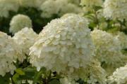 Фото 24 Гортензия лаймлайт: посадка и рекомендации по уходу от опытных садоводов