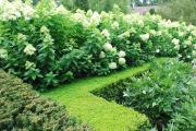 Фото 25 Гортензия лаймлайт: посадка и рекомендации по уходу от опытных садоводов