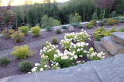 Фото 28 Гортензия лаймлайт: посадка и рекомендации по уходу от опытных садоводов