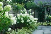 Фото 30 Гортензия лаймлайт: посадка и рекомендации по уходу от опытных садоводов