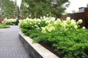Фото 27 Гортензия лаймлайт: посадка и рекомендации по уходу от опытных садоводов