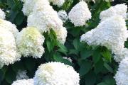 Фото 3 Гортензия лаймлайт: посадка и рекомендации по уходу от опытных садоводов