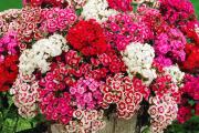 Фото 2 Турецкая гвоздика (60+ фото цветов): все секреты посадки, ухода и защиты от вредителей