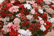 Фото 5 Турецкая гвоздика (60+ фото цветов): все секреты посадки, ухода и защиты от вредителей