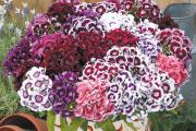 Фото 7 Турецкая гвоздика (60+ фото цветов): все секреты посадки, ухода и защиты от вредителей