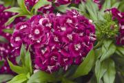 Фото 9 Турецкая гвоздика (60+ фото цветов): все секреты посадки, ухода и защиты от вредителей