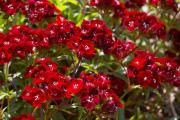 Фото 10 Турецкая гвоздика (60+ фото цветов): все секреты посадки, ухода и защиты от вредителей