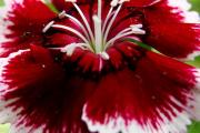 Фото 12 Турецкая гвоздика (60+ фото цветов): все секреты посадки, ухода и защиты от вредителей