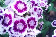 Фото 16 Турецкая гвоздика (60+ фото цветов): все секреты посадки, ухода и защиты от вредителей