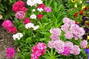 Фото 17 Турецкая гвоздика (60+ фото цветов): все секреты посадки, ухода и защиты от вредителей