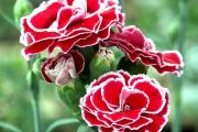 Фото 18 Турецкая гвоздика (60+ фото цветов): все секреты посадки, ухода и защиты от вредителей