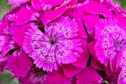 Фото 20 Турецкая гвоздика (60+ фото цветов): все секреты посадки, ухода и защиты от вредителей
