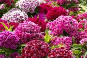 Фото 21 Турецкая гвоздика (60+ фото цветов): все секреты посадки, ухода и защиты от вредителей