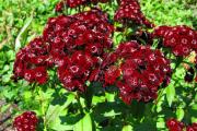 Фото 22 Турецкая гвоздика (60+ фото цветов): все секреты посадки, ухода и защиты от вредителей