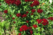Фото 23 Турецкая гвоздика (60+ фото цветов): все секреты посадки, ухода и защиты от вредителей