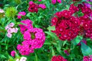 Фото 28 Турецкая гвоздика (60+ фото цветов): все секреты посадки, ухода и защиты от вредителей