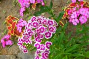 Фото 30 Турецкая гвоздика (60+ фото цветов): все секреты посадки, ухода и защиты от вредителей