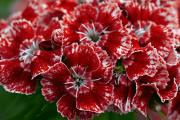 Фото 4 Турецкая гвоздика (60+ фото цветов): все секреты посадки, ухода и защиты от вредителей