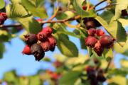 Фото 4 Ягода ирга: все секреты посадки, ухода и размножения «винной ягоды»