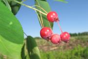 Фото 7 Ягода ирга: все секреты посадки, ухода и размножения «винной ягоды»
