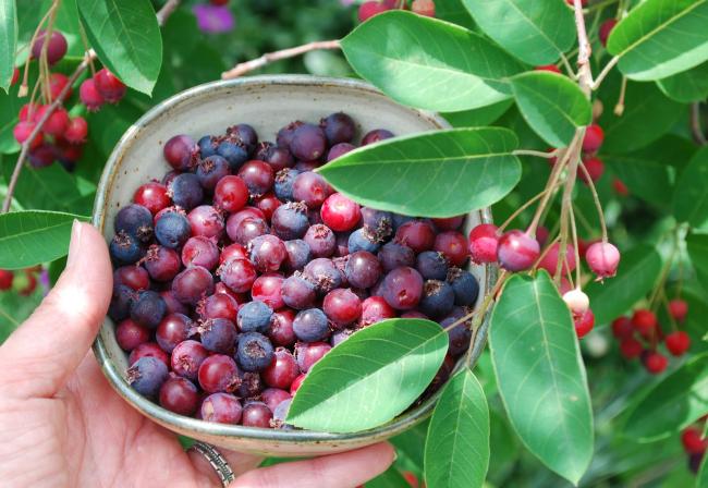 Плоды винной ягоды богаты витаминами и микроэлементами